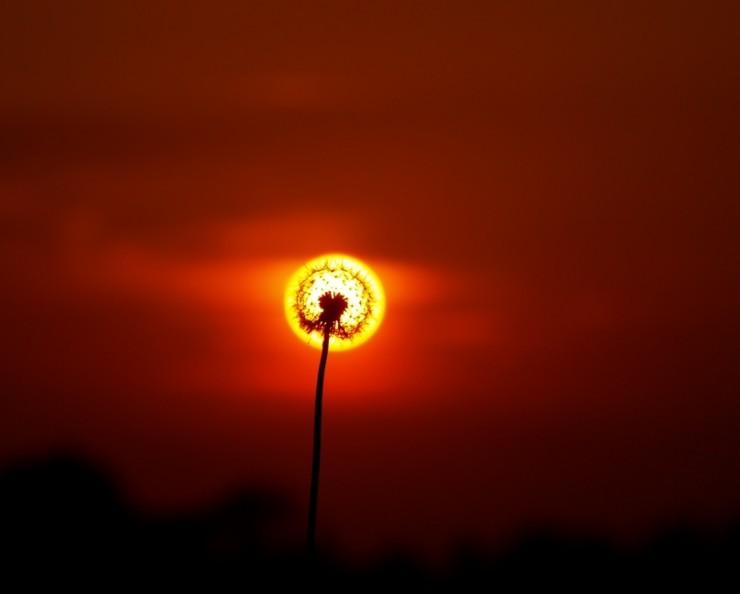Цветок одуванчик солнце